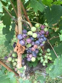 Vineyard in Loudon County, VA.